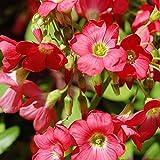 Iron Cross (Oxalis) Flower Bulbs - Rosy Pink