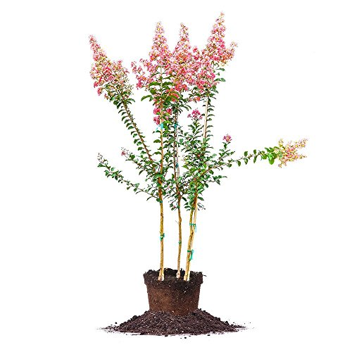 Tuscarora Crape Myrtle - Size: 4-5 ft, Live Plant, Includes Special Blend Fertilizer & Planting Guide