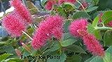 """DWARF CHENILLE PLANT - ACALYPHA PENDULA - 2 PLANTS - 2"""" FAIRY POT - LIVE PLANTS"""