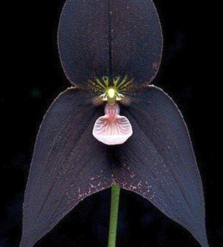 Orchid Monkey Face Black - Affengesicht Orchidee schwarz - 20 Samen