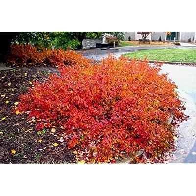 GRO-Low Fragrant Sumac (Rhus aromatica 'GRO-Low') : Garden & Outdoor
