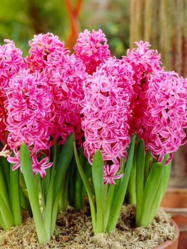 4 Pink Pearl Hyacinths Pink Color Flower Bulb Prechilled Perennial Spring Bloom