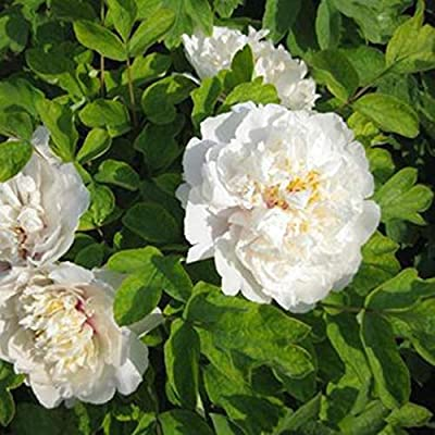 Zuckerfan Summer Blooming Peony Flower Seeds Perennial Plants Garden Ornamental Flowers : Garden & Outdoor