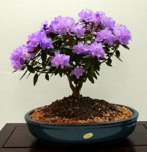 LOU'S BONSAI NURSERY PURPLE FLOWERING RHODENDRON BONSAI TREE. PURPLE FLOWERS