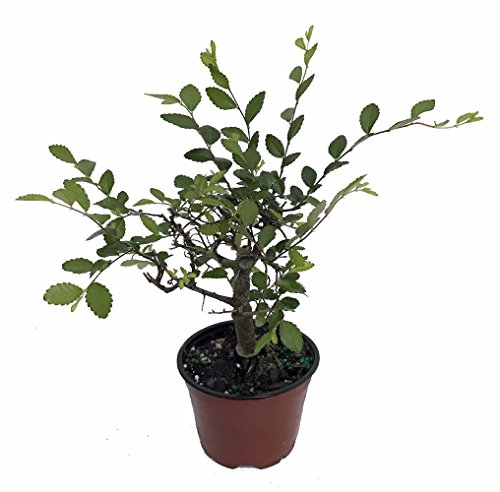 - Imported Japanese Zelkova Bonsai Tree - 4