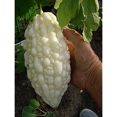Bitter Melon Momordica charantia White Pearl 8 seeds : Garden & Outdoor