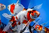 Chalily Live Goldfish - 12 Live 3-4 inch