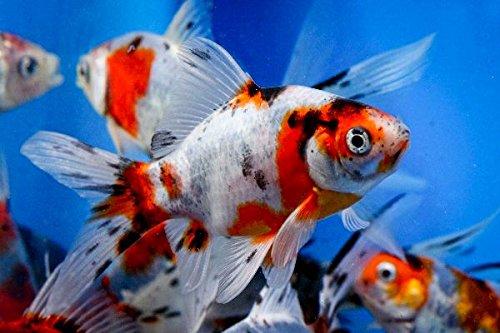 Bubble Eye Goldfish Care - 1