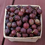 Pixwell Gooseberry, (Ribes Pixwell) well rooted plant 8-10 inches