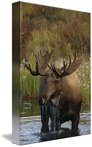 Imagekind Wall Art Print entitled Bull Moose In Pond, Denali National Park, Alaska by Design Pics | 7 x 10