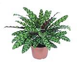 "Calathea Rattlesnake Plant, 4"""