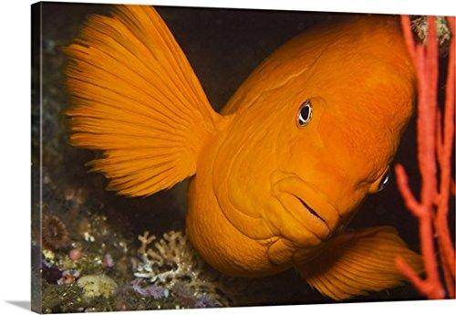 California's state fish, the Garibaldi damselfish (Hypsypops rubicundus) Gallery-Wrapped Canvas (Garibaldi Fish)