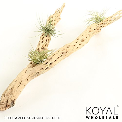 Koyal Wholesale Cholla Wood Aquarium Branches, Airplants Decor, Reptile Perch, Natural Home Decoration, Chew Toy Dried Cactus Wood (24-Inch) by Koyal Wholesale (Image #3)