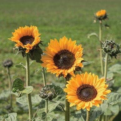 Helianthus Annual 10 Seeds SORAYA SUNFLOWER SEEDS RARE VARIETY