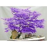 ! LOSS PROMOTION SALE! 30pcs / purple Japanese maple seeds, rare indoor bonsai tree seeds. Home & Garden purple Japanese maple