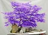 ! LOSS PROMOTION SALE! 30pcs / purple Japanese maple seeds, rare indoor bonsai tree seeds. Home & Garden purple Japanese maple