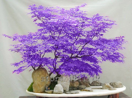 LOSS-PROMOTION-SALE-30pcs-purple-Japanese-maple-seeds-rare-indoor-bonsai-tree-seeds-Home-Garden-purple-Japanese-maple