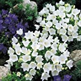 Outsidepride Bellflower White - 5000 Seeds