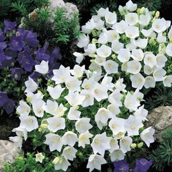 Outsidepride Bellflower Campanula Carpatica White Ground Cover Plant Seed - 5000 Seeds ()