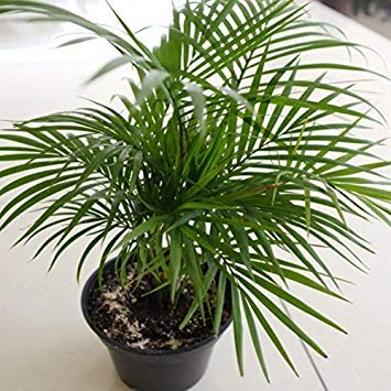 Chamaedorea Seifrizii Seeds, (40 seeds) Bamboo Palm, Reed Palm, Seifriz's Bamboo Palm. Tropical beauty for both indoor and ()