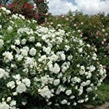 バラ苗 ホワイトメイディランド 国産大苗6号スリット鉢 修景用 四季咲き中輪 白系
