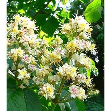 Bach flower remedies white chestnut 10ml amazon health bach flower remedies white chestnut 10ml mightylinksfo