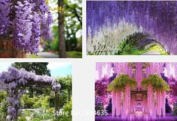 Garden Plant 50pcs Bag Wisteria Flower Seeds Wisteria Flower Chinese Wisteria Bonsai White Sky Blue Pink Yellow Purple Free Ship Amazon Ca Patio Lawn Garden