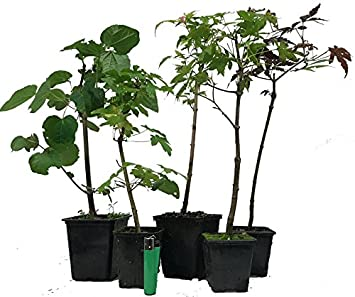 3x field maple acer Acer campestre outdoor bonsai starter tree
