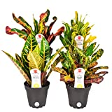 Costa Farms Exotic Angel Croton Live Indoor Plant, Grower's Choice Assortment, 4-Pack