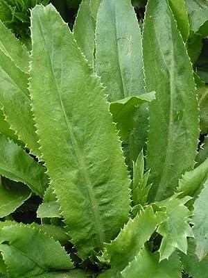 Recao, Culantro, Cilantro ancho, Mexican coriander (Eryngium foetidum) Herb. 10,000+ Qty Seeds Pack