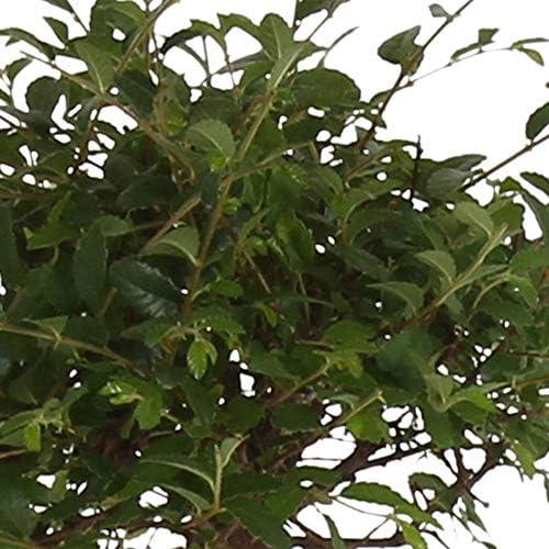 Zelkova Serrata en forme de boule | Bonsaï | Plante tropicale dintérieur | Hauteur 25-30cm | Cache-pot céramique bleu Ø 15cm inclus