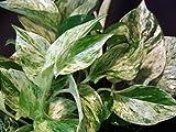"Marble Queen Devil's Ivy - Pothos - Epipremnum - 4"" Pot - Easy to Grow"