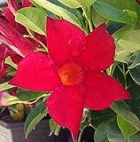 Mandevilla Dipladenia 'Vogue Audrey' Red ~ Live Starter Plant
