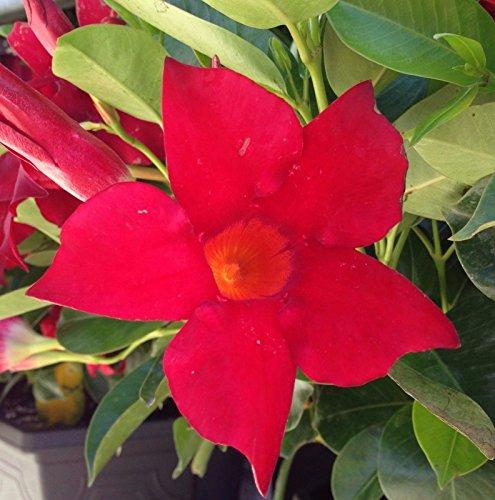 Mandevilla Dipladenia 'Vogue Audrey' Red ~ Live Starter Plant by southern_garden