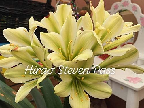 5 graines de Courte Feuille Conservatoire Smon X Hirao Steven Passe clivia FERRY Graines Bio Seulement Non Plantes