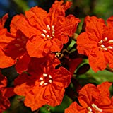 Geiger Tree Geranium Tree Cordia sebestena Organic 20 Seeds