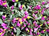 1 Strater Plant of Polygala Chamaebuxus Var. Grandiflora - Purpurea Milkwort