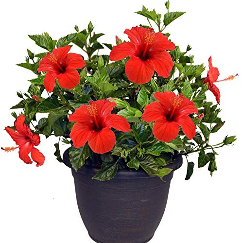 Hibiscus Hybrida Red Flower Seeds 20+ Rose Organic Easy to Grow Seeds for Bonsai Planting Garden Outdoor Indoor