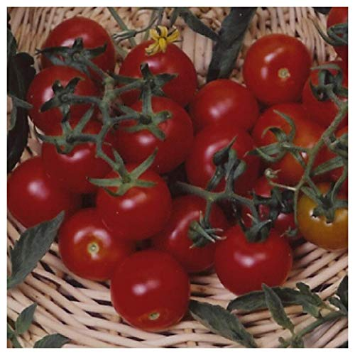 Everwilde Farms - 1 Lb Large Red Cherry Tomato Seeds - Gold -