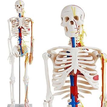 Skelett Modell mit Nerven, Blutgefäßen und Gehirn - Anatomie Modell ...