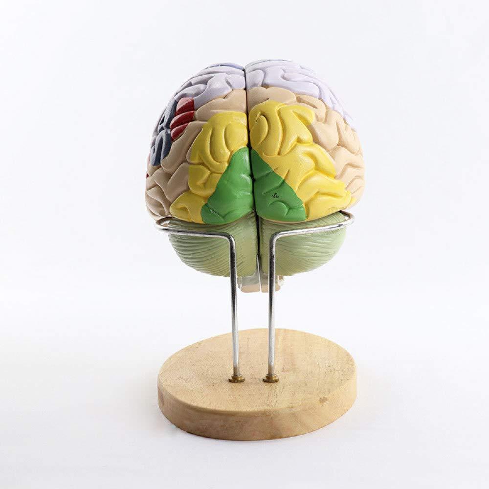 2 Veces Gran Cerebro Ensamblando Anatomía del Cerebro Modelo ...