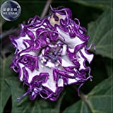 New Purple Moon Angel Trumpet Datura / Yellow Datura Metel Flowers, Professional Pack, 20+ Seeds