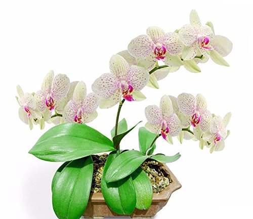 The Best Seller 100 seeds Perennial Phalaenopsis Orchid Flower Seeds ,Rare Butterfly Orchid Seeds.