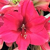 Amaryllis Bulb Pink Amaryllis Pink Surprise - 30/32cm Bulb | Ships from Easy to Grow TM
