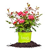 rose bush fertilizer - DOUBLE RED KNOCK OUT ROSE - Size: 1 Gallon, live plant, includes special blend fertilizer & planting guide
