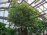 12 Seeds Camphor Tree (Cinnamomum camphora)