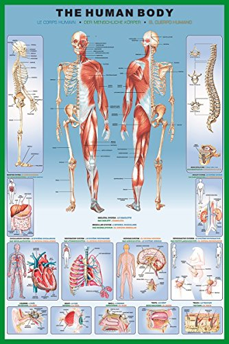 Laminated Illustrated Human Body Educational Anatomy Chart Poster 24x36