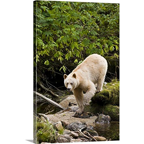 (North America, Canada, British Columbia, Princess Royal Island, Kermode (Spirit) Bear Canvas Wa.)