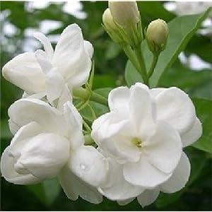 (Jasmine * Ambizu *) 20pcs / lot pacchetto del gelsomino semina, Fantanstic piantare semi di fiori 51KNtmq0ISL. SS300