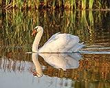 White Swan Photograph - Nature Photography - Bird Print -''Swan Reflections'' - Cute Animal Photo - Nursery Wall Art